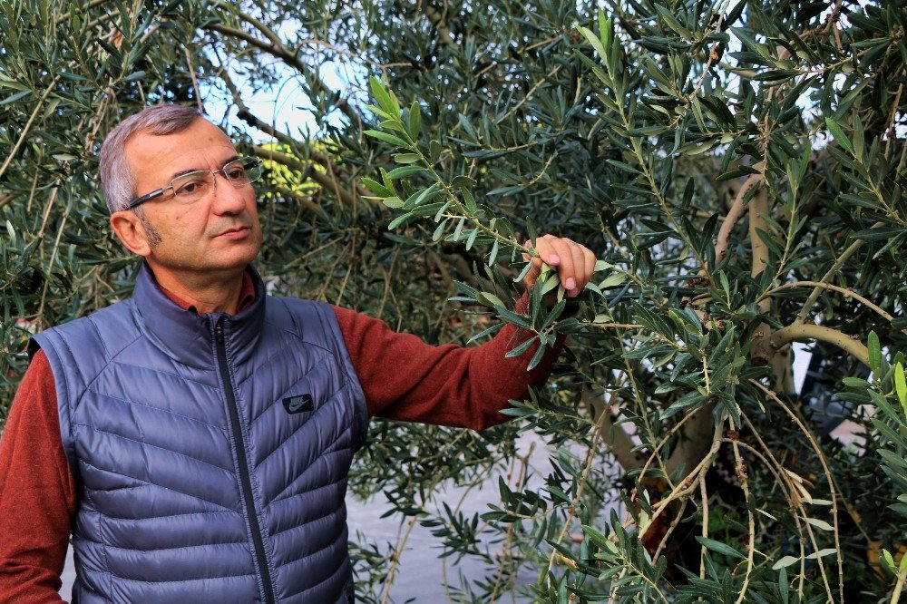 Yağışlar Zeytin Rezervlerini Dolduruyor