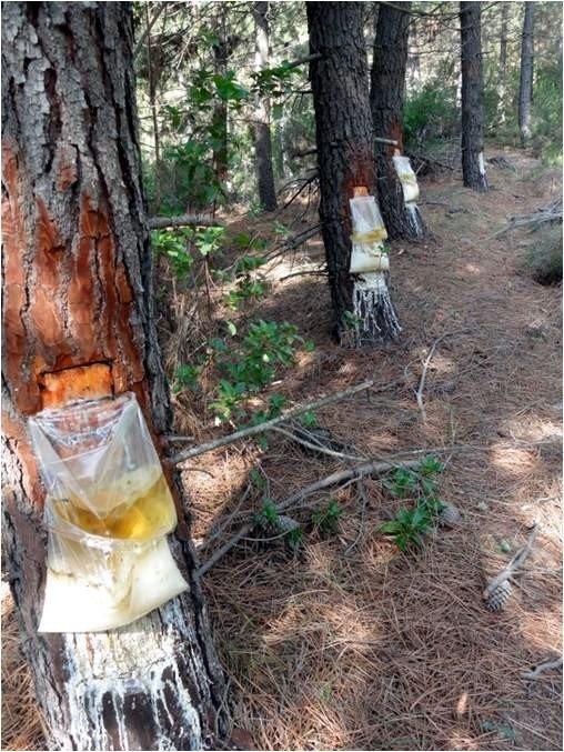 Yalova Ormanlarından Reçine Üretilecek