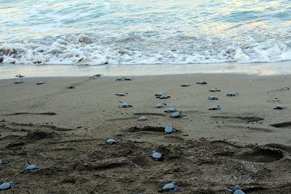 227 Bin 696 Caretta Caretta Yavrusu Denizle Buluştu