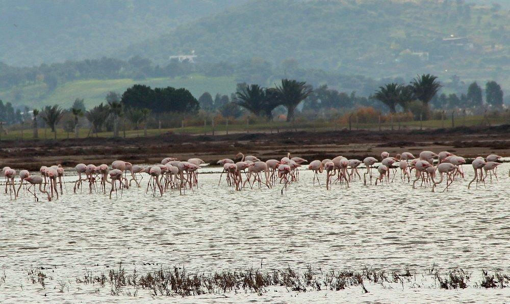 Flamingolar Bodrum'a akın etti