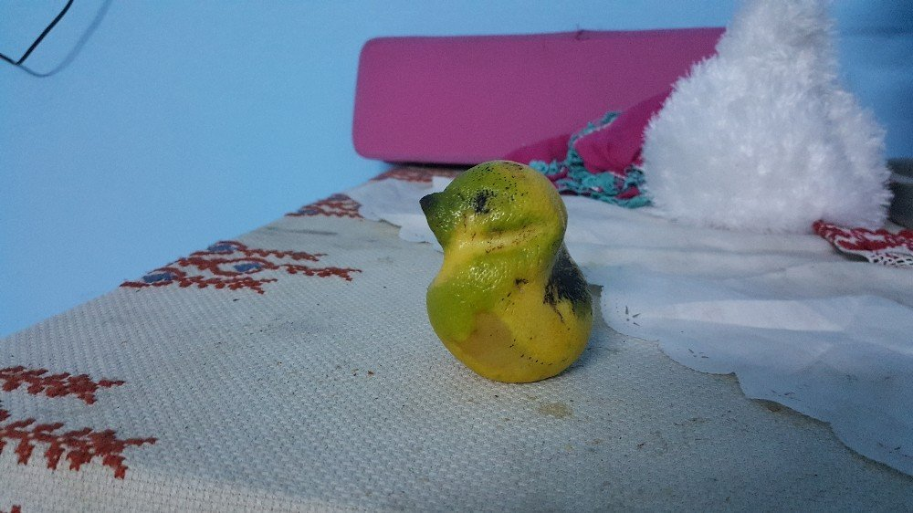 Muhabbet kuşu değil limon
