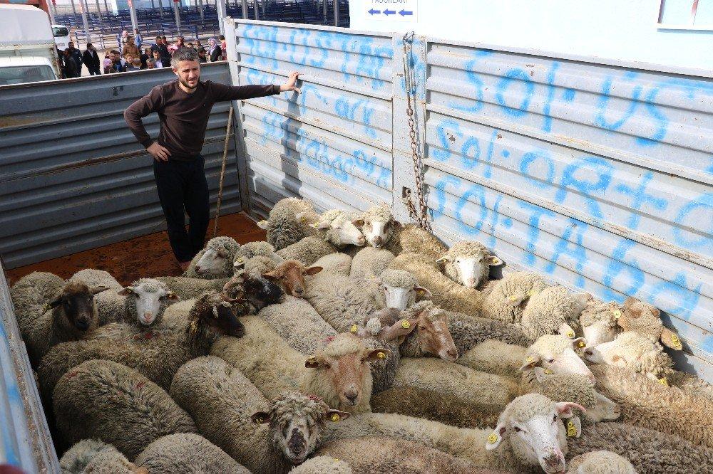 Niğde'de Genç Çiftçilere bin 443 küçükbaş hayvan verildi