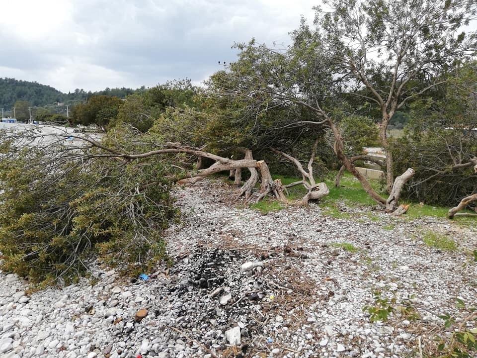 Akbük Sahilinde Ağaç Katliamı