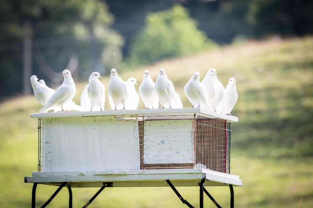 Aydınlı Güvercinseverler Yarışlara Hazırlanıyor