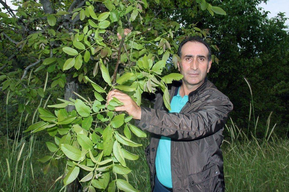 Geç Uyanan Ceviz Ağaçları Dondan Etkilenmedi