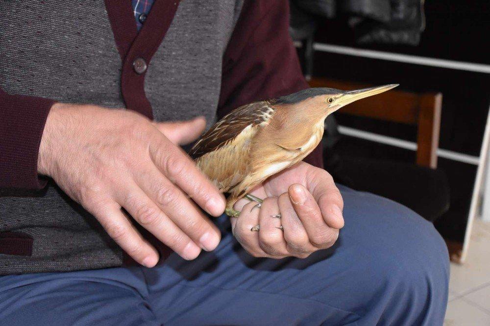 Hakkari'de Balaban Kuşu Bulundu