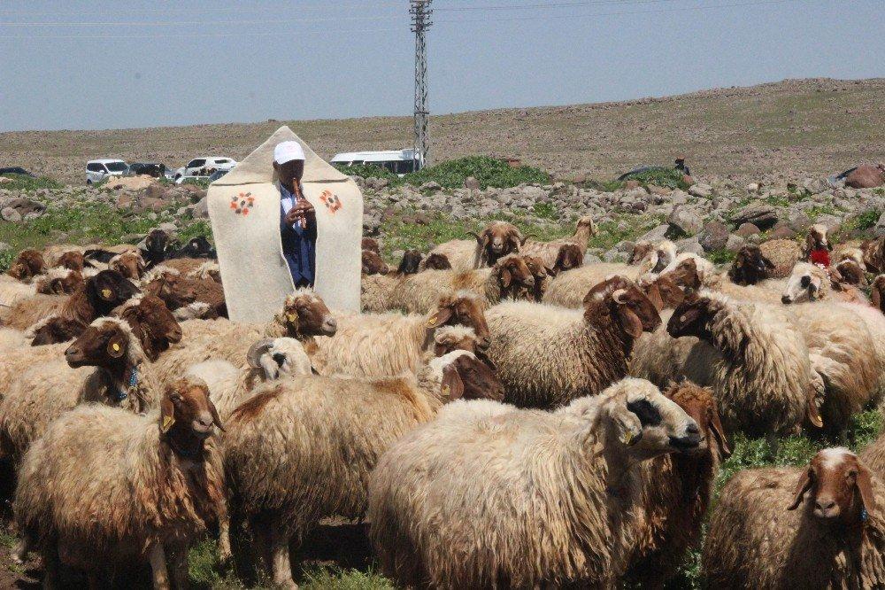 Koyunlar, Melodiler Eşliğinde Meralara Salındı