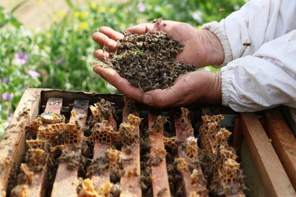 Manisa'da Bilinçsiz Zirai İlaçlamadan Dolayı Milyonlarca Arı Telef Oldu
