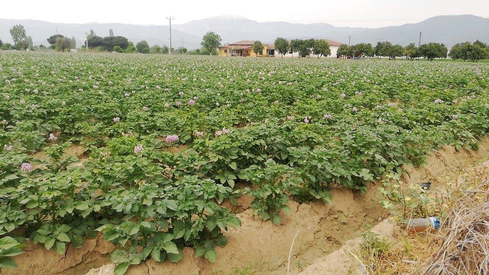 Patateste Maliyetlerin Yüzde 200 Artması Ekim Alanlarını Vurdu, Fiyatı Yükseltti