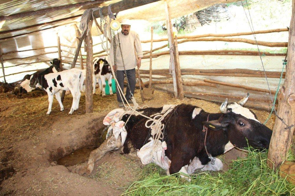 Yavrulayan İnekleri Ölen Çiftçi Çaresiz Kaldı