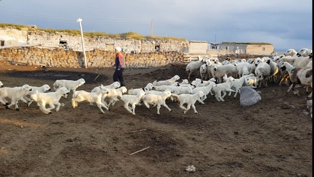 500 Kuzunun Anneleri İle Buluşması Hayranlık Uyandırdı