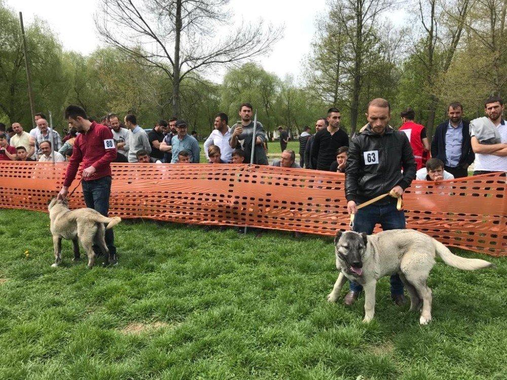 Türk Çoban Köpekleri Tokat'ta Podyuma Çıktı