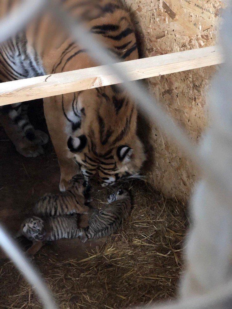 Aslanpark'taki Bengal Kaplanı Üç Yavru Dünyaya Getirdi