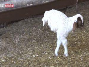 Doğuştan arka ayakları olmayan minik kuzu