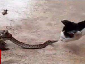 Kurbağanın ağzındaki yılan kediye saldırdı