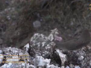 Avını örümcek taklidi yaparak yakalayan yılan