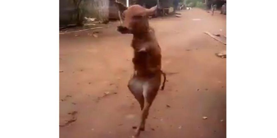 Arka ayakları üzerinde yürüyor