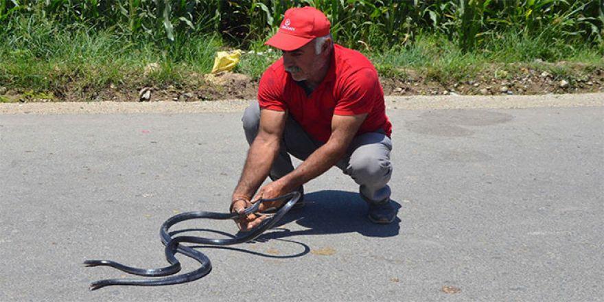 Zehirli yılanları çıplak elle yakalıyor