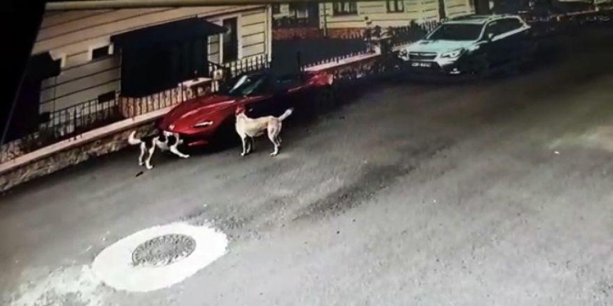 Köpekler, lüks otomobili parçaladı