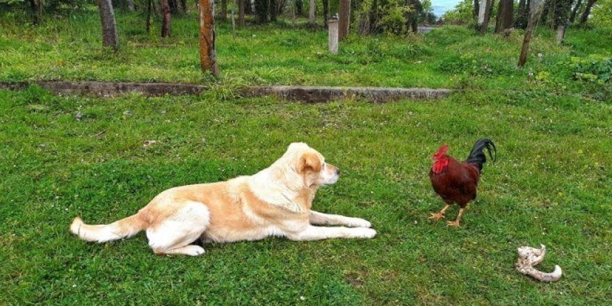 Horoz ile köpeğin kavgası